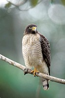 Roadside Hawk (Buteo magnirostris). Pantanal, Brazil
