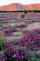 Sunrise on mountains, wildflowers. Anza-Borrego desert SP. San Diego. California