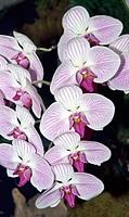 Orchid (Phalaenopsis sp.)