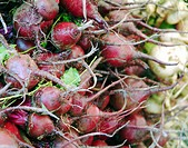 Red and white radishes at the Framers market, Union square. New York City, USA