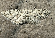 Moth resting on a piece of stone. Its cryptic colouration helps it to avoid being seen by predators. Photographed in montane forest near Quito, Ecuado...