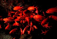 School of Soldierfish