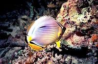Rainbow Butterfly Fish, Malaysia