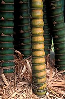 Trunk of bamboo tree