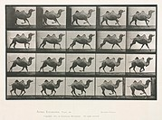 Time-lapse photographs of a camel trotting, 1872-1885.Photograph by Edweard James Muybridge (1830-1904), British-American photographer and pioneer of ...