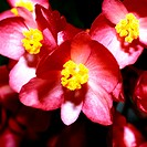 Close-up of Flowers of Begonia