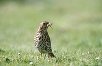 Song thrush (Turdus philomelos) on lawn with beak full of slugs. Norfolk. England. UK