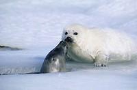 Seal Greeting Whitecoat Infant