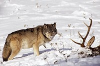 Grey Wolf with Snowy Elk Kill
