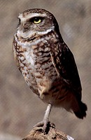 Standing Burrowing Owl