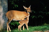 Whitetail Deer with Fawn