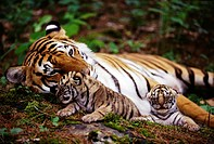 Tiger Family in Woodlands