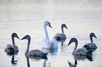 Swans (Cygnus olor). Skåne. Sweden