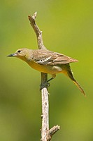 Female Scott's Oriole (Icterus parisorum)