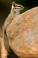 Cliff Chipmunk (Tamis dorsalis)