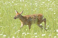 White tailed deer (Odocoileus virginianus), fawn