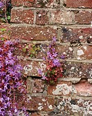Bellflower (Campanula sp.) against garden wall. Penshurst. Kent, England, UK
