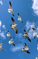 Laughing Gull (Larus atricilla) flying. Florida. USA