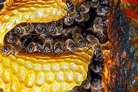 Honey Bees (Apis mellifera) in honeycomb