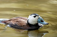 White-headed Duck (Oxyura leucocephala), male. Spain
