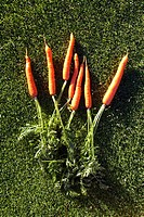 Close-up of carrots lying on the grass