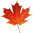 An autumn color Maple leaf lying on a white surface
