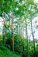 Landscape image of tall trees in the forests of Hawaii