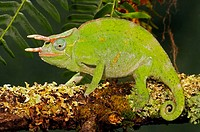 Three horn Chameleon (Chamaeleo deremensis), captive