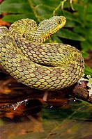 Green Bush Viper (Atheris squamiger), captive