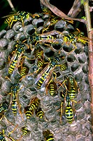 Paper Wasp (Polistes gallicus) Wasp nest