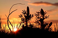 A silhouette of the sun going down behind high grass and other vegetation