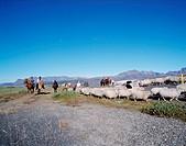 People on horseback, rounding up sheep