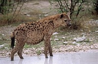 A hyena standing in water