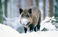 Wild Boar (Sus scrofa), captive