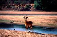 Red Lechwe, South Africa