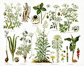 Poisonous plants. Artwork of poisonous plants, with detail of flowers and berries. Clockwise from bottom left are, autumn crocus (Colchicum autumnale)...