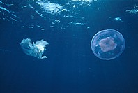 Moon jellyfish (Aurelia aurita). A piece of plastic is floating on the left. This jellyfish is very common and is found in coastal waters around the w...