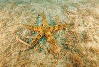 Spiny starfish (Marthasterias glacialis) on the sea floor. This large starfish measures about 40  centimetres in diameter, but exceptional individuals...
