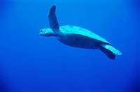 Sea turtle swimming. Turtles (order Chelonia) are aquatic reptiles that use their powerful paddle- like front limbs to propel themselves through the w...