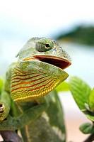 Flap-necked chameleon (Chamaeleo dilepsis) in a bush. Photographed at Lake Malawi, Malawi.