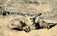 Bat-Eared Fox (Otocyon megalotis), mother nurturing cubs. Kgalagadi Transfrontier Park, Kalahari, South Africa