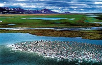 A flock of geese on a tarn in the highland, mountains in distance and cloudy sky above