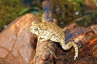 American toad (Bufo americanus)