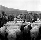 A group of sheep and people