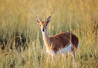Oribi (Ourebia ourebi), endangered species. Midmar Game Reserve, KwaZulu-Natal, South Africa