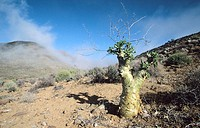 Desert Flora, Tylecodon paniculatus, Richtersveld National Park,  Northern Cape, South Africa