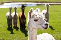 Smiling alpaca (lama pacos) posing as if it were the leader of the pack. Krystal Acres Alpaca Farm on San Juan Island, Washington, USA.