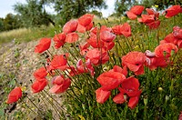 Common Poppy (Papaver rhoeas) growing in olive grove. Andalucía, Spain