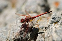 Yellow-winged Darter (Sympetrum flaveolum). La Gomera, Canary Islands. Spain