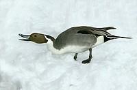 Pintail (Anas acuta)